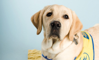 A foster dog in training from Canine Companions for Independence
