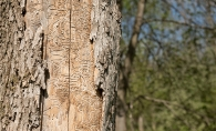 Signs of Emerald Ash Borer on a tree trunk