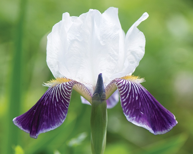 A purple and white spring flower.