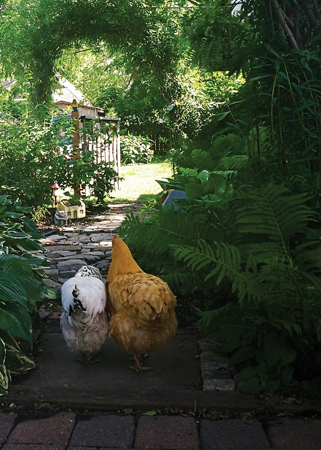 A pair of chickens walk together in an Edina backyard.