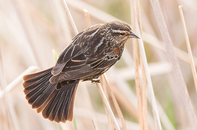 A female red winged blackbird photographed for the Images of Edina photo contest.