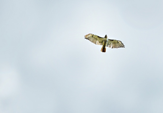 A hawk soars in this Images of Edina submission.