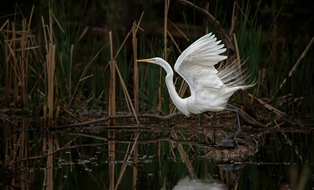 A bird prepares to take off from a body of water in Edina.