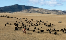 A rancher herds some grass-fed cattle