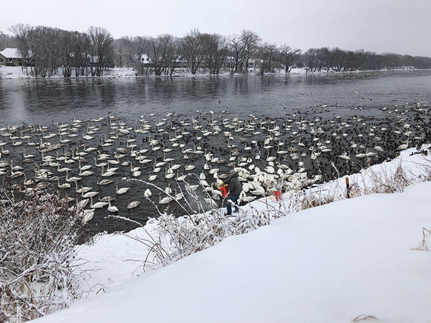 Jim Lawrence feeding the swans in his backyard at Swan Park in Monticello.