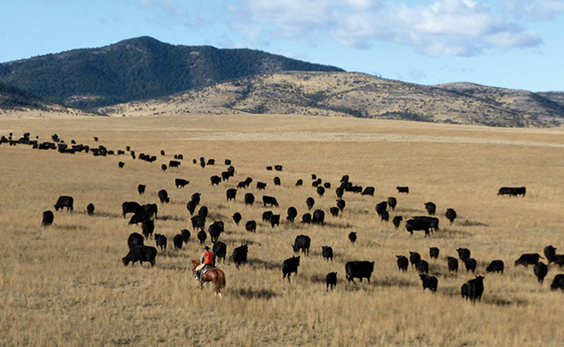 Grass-fed cattle on Mulvey Gulch Ranch