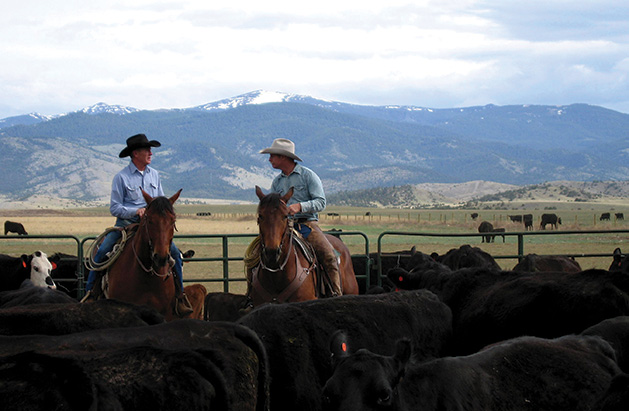 Ranchers rustle grass-fed cattle on Mulvey Gulch Ranch.